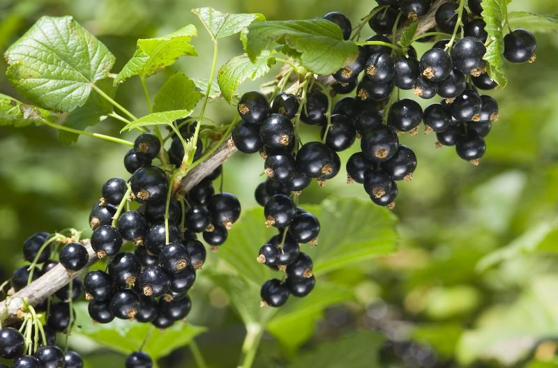 New Zealand Blackcurrants